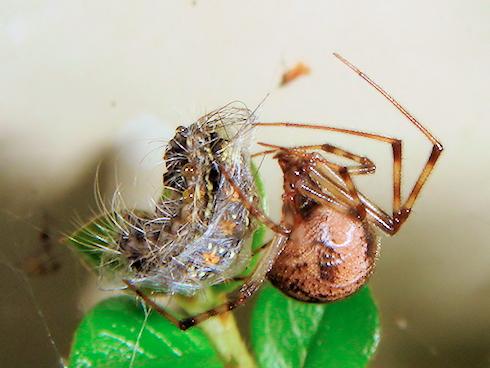 マイマイガの幼虫を捕えたクモ