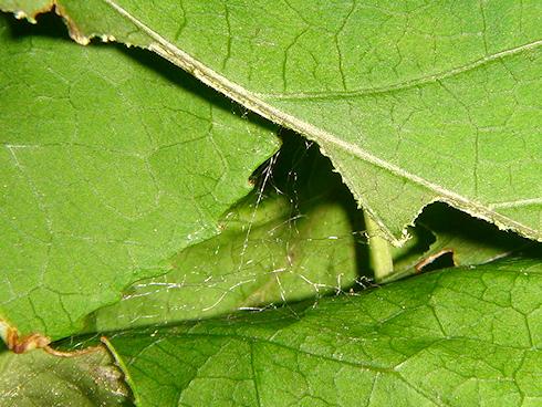 糸を出すマイマイガの5齢幼虫