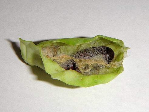 ヨトウムシの蛹化