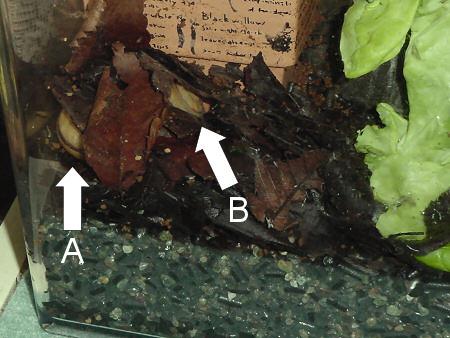 カタツムリが産卵のために穴を掘る貴重な動画
