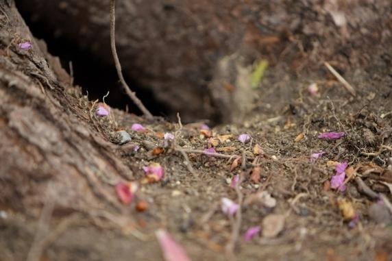 花びらを運ぶアリ