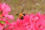 でっかいハチのトラマルハナバチ