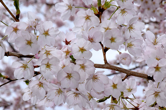 数日前に桜満開