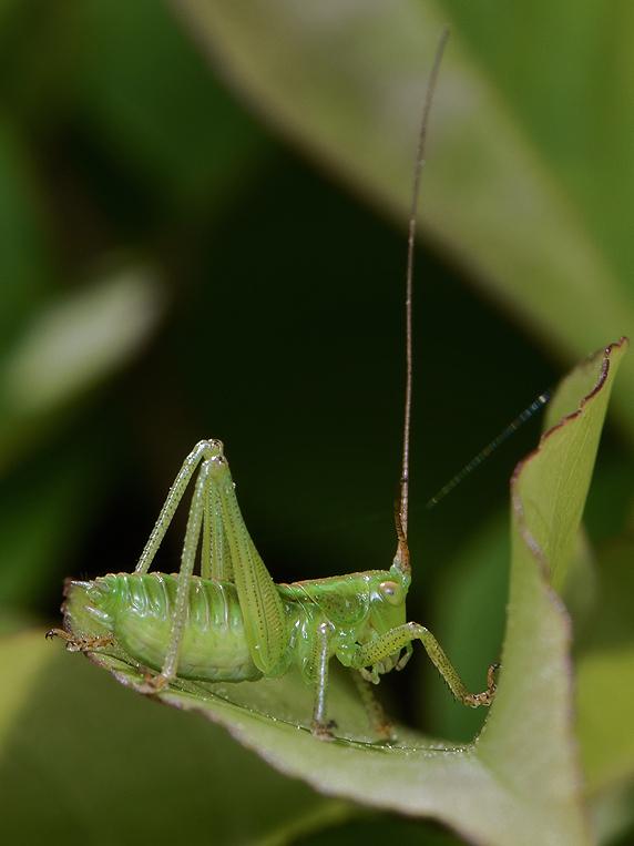 ヤブキリの幼虫の脱皮