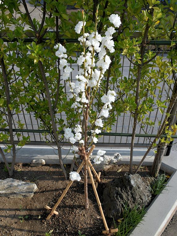 今年植樹した花桃が満開