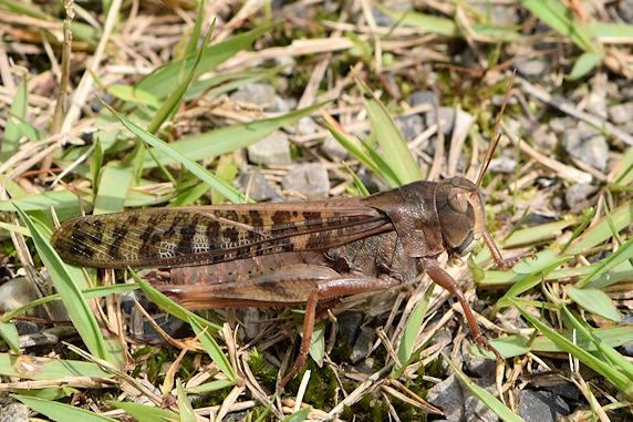 トノサマバッタ褐色型