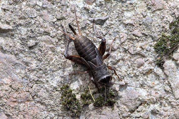エンマコオロギの幼虫