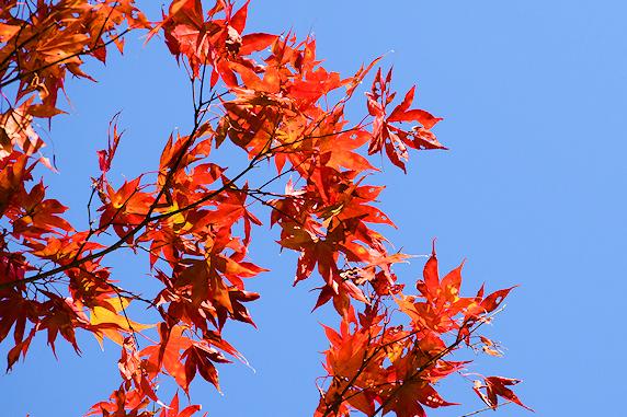秋ナスの収穫