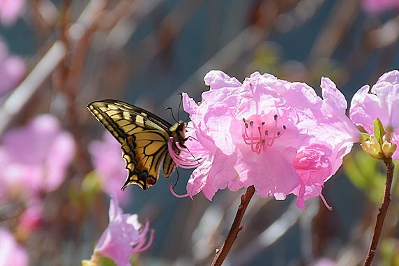 ツツジの花で吸蜜するキアゲハ