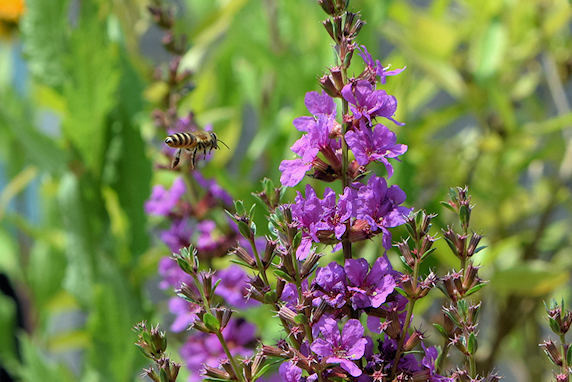 ミツバチとモンシロチョウ