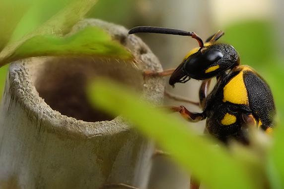 オオフタオビドロバチが庭で巣作り中