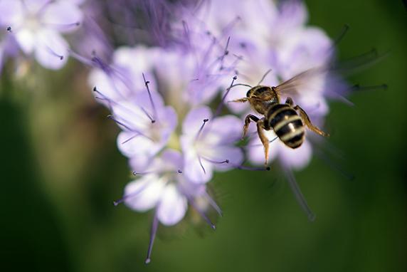 野原風花壇にハナバチがやってきた