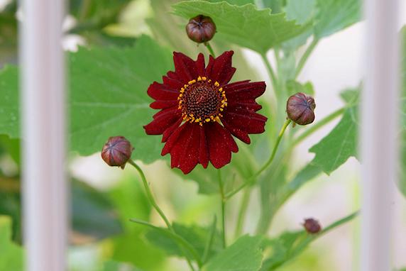 野原風花壇にハルシャギク開花