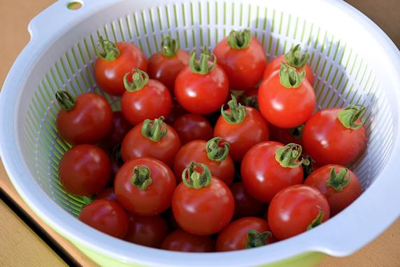 ミニトマト収穫40個