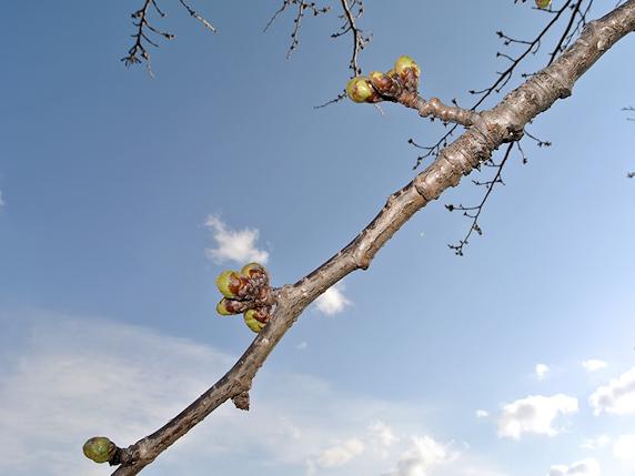 桜はまだ芽の状態