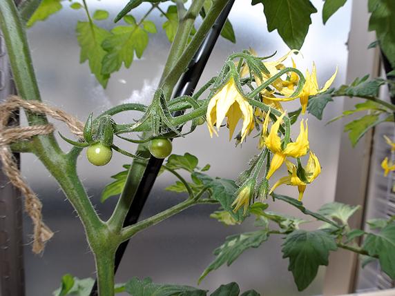 トウガラシの新規定植