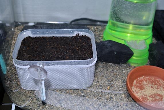 エンマコオロギの産卵床を設置