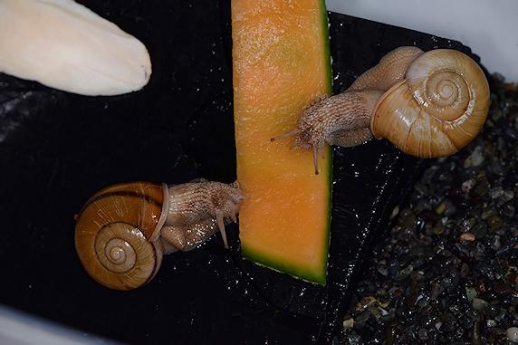 メロンを食べるカタツムリ