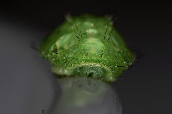 蛹化場所を探すムラサキイラガの終齢幼虫