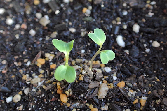 小松菜の室内栽培開始