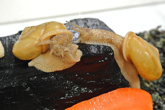 ニンジンを食べるカタツムリ