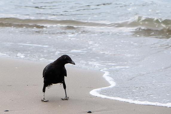 ウミネコ若鳥、カラスにスズメ