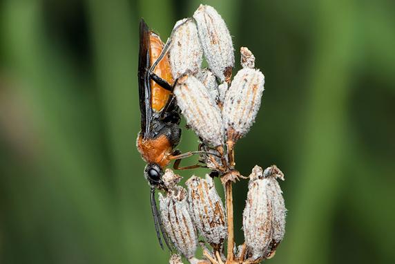 葉の上で休むニホンカブラハバチ