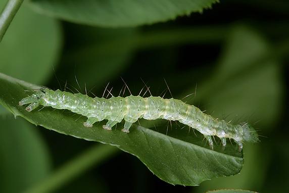 何かの蛾の幼虫
