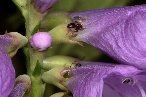 ハナトラノオの花びらを食い破るアリ