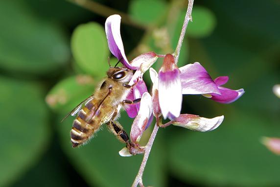 かわいいニホンミツバチ