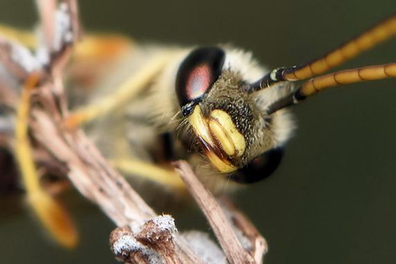 名前がわからないハチ