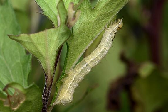 蛾の幼虫再び