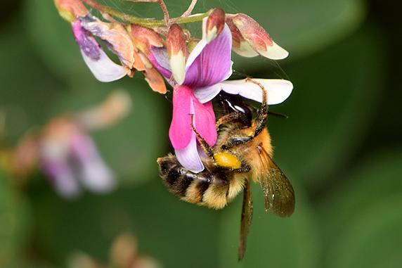 ハギの蜜を吸うトラマルハナバチ