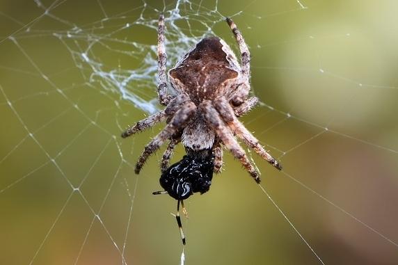 ヤエンオニグモの捕食