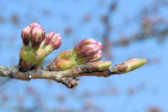 桜はつぼみなり