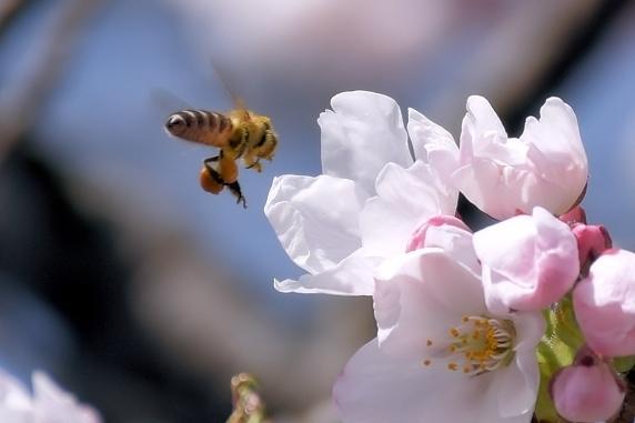 桜の開花始まる