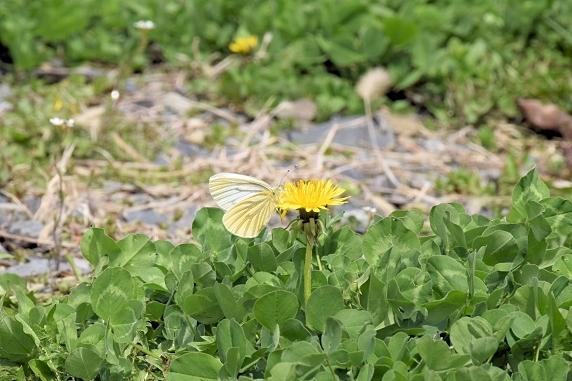 吸蜜するスジグロシロチョウ