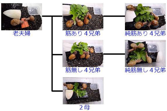 カタツムリの家系図