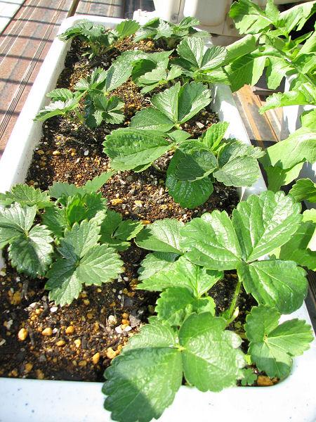 順調に生長中のイチゴの苗
