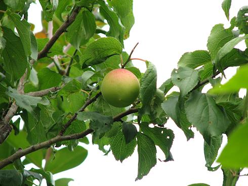 色づく梅の実