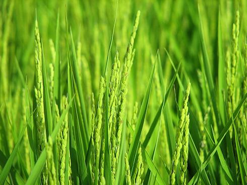 穂が遅れるバケツ稲