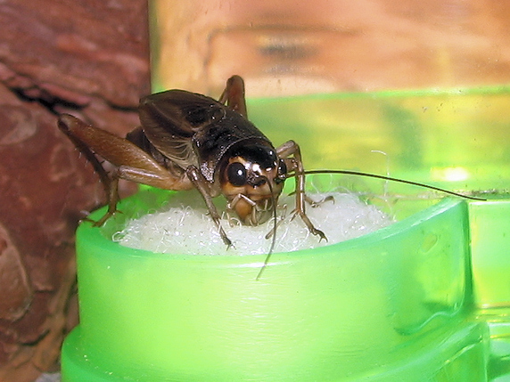 水を飲むエンマコオロギ