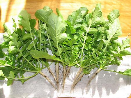 ベランダの葉大根の収穫