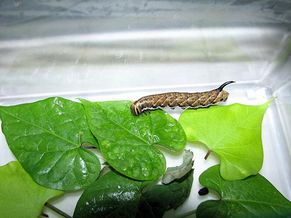 エビガラスズメの幼虫を保護