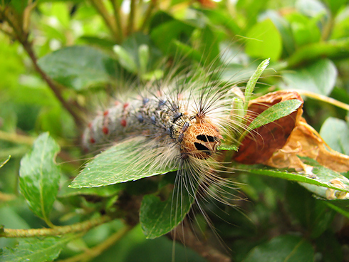 ツツジの葉を食べるマイマイガの終齢幼虫の動画