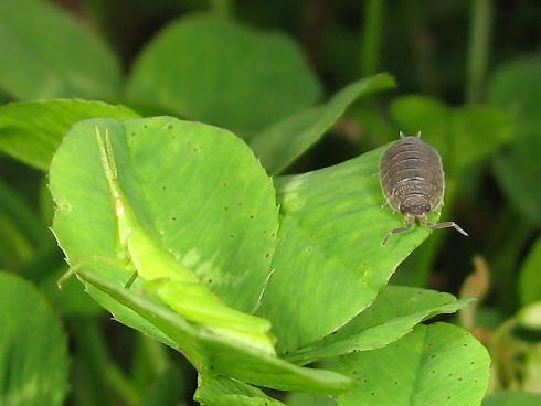 緑一色のオンブバッタの幼虫
