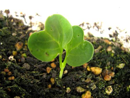 葉大根、再び発芽