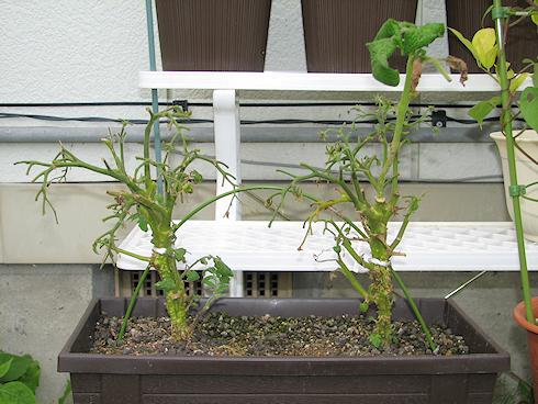 矮性ミニトマトの最後の収穫