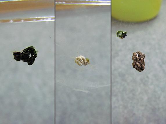 枯れ葉を食べるカタツムリ
