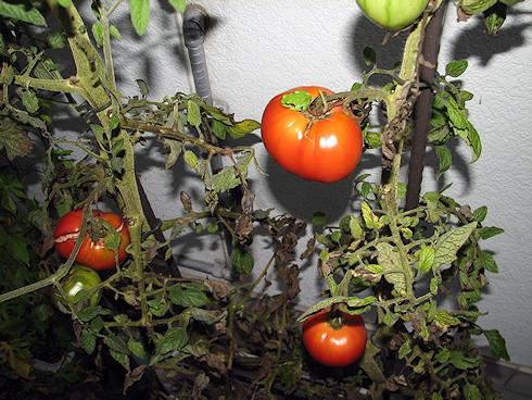 トマトを気に入るカエル